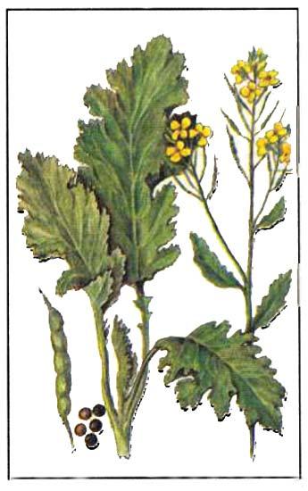 Горчица сизая, сарептская, или индийская, — Brassica juncea