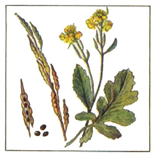 Горчица черная — Brassica nigra