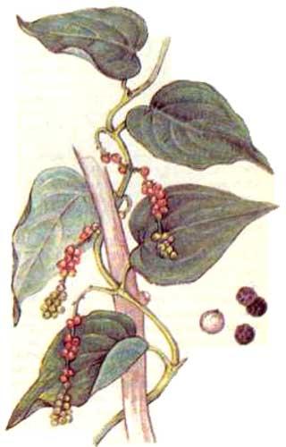 Перец черный (Piper nigrum L.)