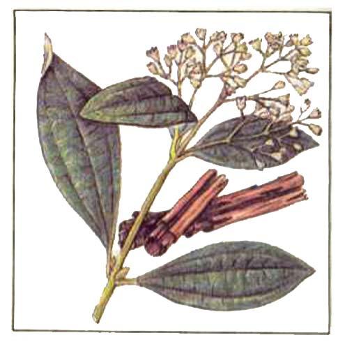 Коричное дерево - Cinnamomum