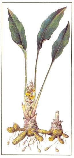 Куркума (Curcuma longa L)
