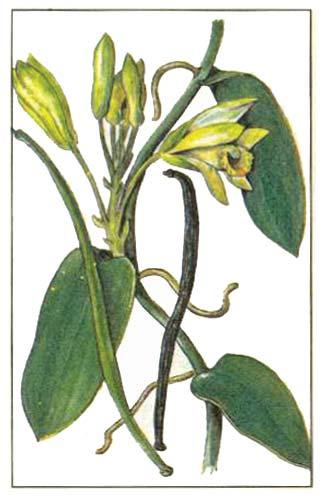 Ваниль душистая (Vanilla fragrans)