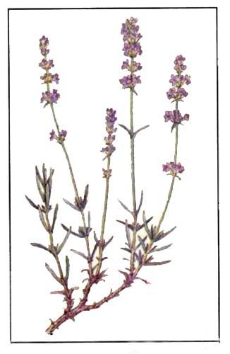 Лаванда настоящая (Lavandula officinalis)