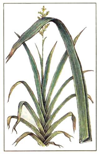 Новозеландский лен (Phormium tenax )