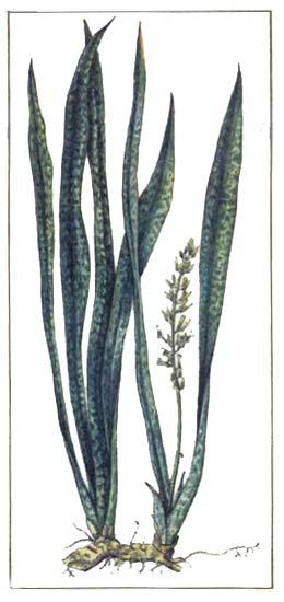 Сансевиера (Sanseviera)