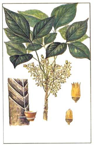 Гевея бразильская — Hevea brasiliensis