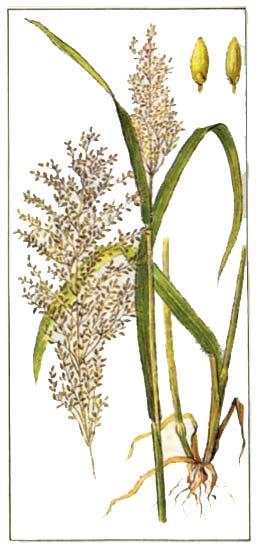 Гвинейская трава (Panicum maximum Jacq.)