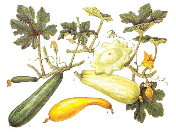 Кабачок (Cucurbita реро var. geraumanas), патиссон (Cucurbita реро var. melopepo), цуккини (итальянские кабачки) и крукнек