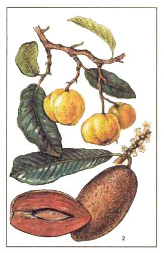 Сапота мамей, сапотный мамей, или сапотовое дерево — Calocarpum sapota