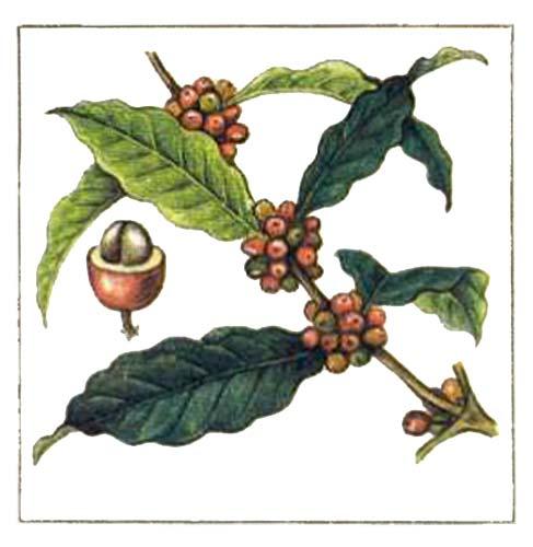 фото растение кофе