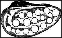 Створка перловицы, использованная для вырезки из нее пуговиц