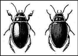 Плавунец окаймленный (Dytiscus marginalis)