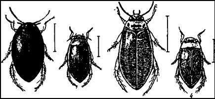 Наши мелкие плавунцы. 1 — тинник черный (Ilybius ater); 2 — тинник желтобокий (Ilybius fuliginosus); 3 — прудовик полосатый (Colymbetes striatus); 4 — ильник точечный (Rhantus punctatus)