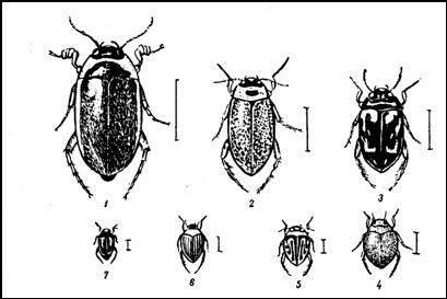 Наши мелкие плавунцы. 1 — водяник (Hydaticus transversalis); 2 — ильник (Rhantus notatue); 3 — гребец (Platambus maculatue); 4 — пузанчик (Hyphydrus ferrugtneus); 5 — пеструшка (Hygrotus verslcolor); 6 — желтушка (Hallplus ruflcollis); 7 — нырялка (Hydroporus granularls)