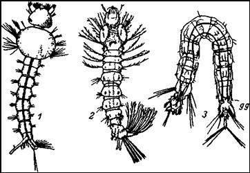 Личинки комаров. 1 — личинка обыкновенного комара (Culex pipiens); 2 — личинка малярийного комара (Anopheles maculipennis); 3 — личинка земноводного комарика (Dixa amphibia)