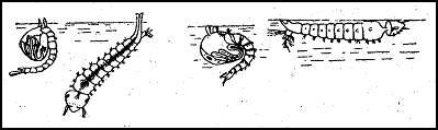 Личинки и куколки комаров. Слева — обыкновенный комар; справа — малярийный комар