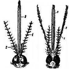 Головы самок обыкновенного комара (Culex) и малярийного комара (Anopheles maculipennis)