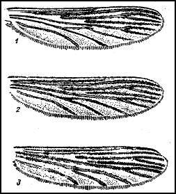 Крылья малярийных комаров. 1 — обыкновенного малярийного комара (Anopheles maculipennis); 2 — лесного (Anopheles bifurcatus); 3 — Палласова комара (Anopheles hyrcanus)