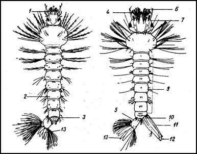 Личинки комаров: малярийного комара и обыкновенного комара (Aedes cinereue)