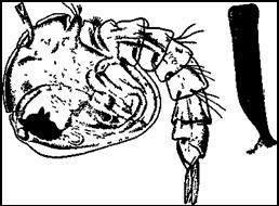 Куколка обыкновенного комара