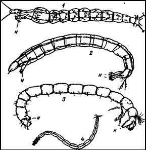 Увел.  1 - личинка комара-толкунчика (Tanypus monilis); 2 - личинка...