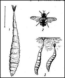 Муха-львинка (Stratiomyia chamaeleon)