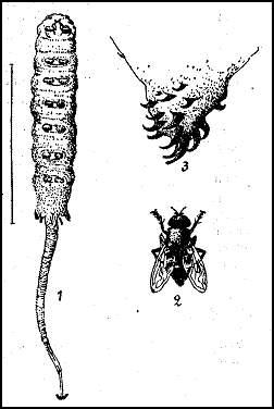 Иловая муха (Eristalis tenax). 1 — личинка иловой мухи, так называемая «крыска»