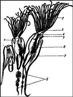 Часть колонии клубчатой мшанки (Plumatella fungosa)