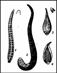 малая ложноконская пиявка (Nephelis vulgaris или Hcrpobdella atomaria); 2 — ложноконская пиявка (Aulostoma gulo или Haemopis sanguisuga); 3, 4-улитковая пиявка (Clepsine или Glossosiphonia) с молодью