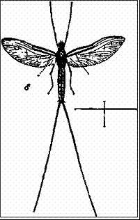 Самец двукрылой подёнки (Cloeon dipterum)