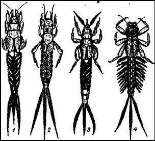 Роющие личинки подёнок. 1 — Palingenia longicauda; 3 — Polymitarcis virgo; 3 — Ephemera vulgata; 4 — Potamanthus luteus