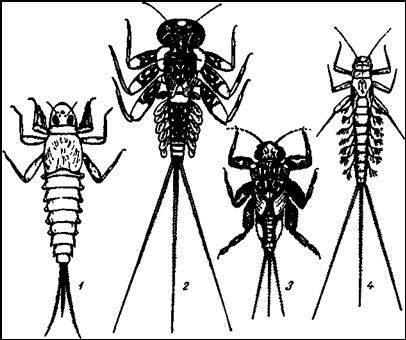 Личинки подёнок из быстро текущих вод. 1 — Oligoneuriella rhenana; 2 — Ecdyonurus forcipula; 3 — Torleya belgica; 4 — Habrophlebia lauta