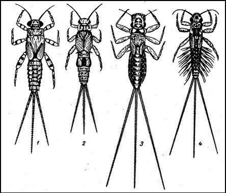 Ползающие личинки подёнок. 1 — Ephemerella ignita; 2 — Caenis macrura; 3 — Choroterpes picteti; 4 — Paraleptophlebia submarginata