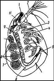 Водная блоха (Simocephalus vetulus)