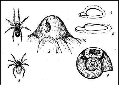 Водяной паук-серебрянка (Argyroneta aquatica)