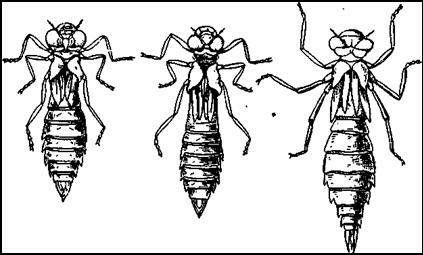 Личинки стрекоз типа стрекозы коромысла: Коромысло большое (Aeschna grandis), коромысло голубое (Aeschna cyanea) и коромысло зеленое (Aeschna viridls)