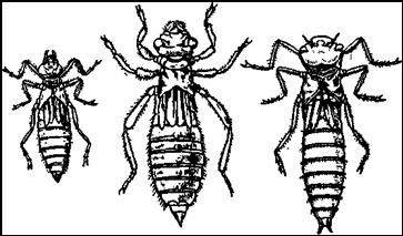 Личинки стрекоз типа стрекозы коромысла: Дедка (Gomphus vulgatlsslmus), Onychogomphus uncatus, Cordulegaster bidentatus