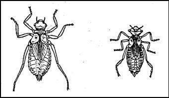 Личинки стрекоз типа настоящей стрекозы: Настоящая стрекоза (Libellula) и Бабка (Cordulla aenea)