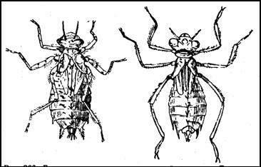 Личинки стрекоз типа настоящей стрекозы: Эпитека (Epitheca bimaculata), Леукорриния (Leucorrhinia caudatisi