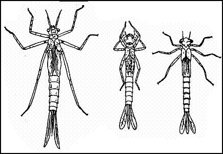 Личинки стрекоз типа лютки: Красотка (Calopteryx), Стрелка (Agrion), Эритромма (Erythromma)