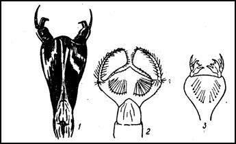 Различные типы масок у личинок стрекоз. Сильно увел. (По Якобсону и Бианки) 1 — плоская маска типа Aeschna; 2 — шлемовидная маска бабки (Cordulia); 3 — шлемовидная со сложными зубцами маска лютки (Lestes)