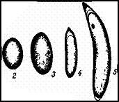 Яйца стрекоз. 1 — Sympetrum; 2 — Cordulia; 3 — Epitheca; 4 — Erythromma; 5 — Lestei