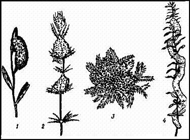 Кладки стрекоз. 1 — кладка Libellula на растении; 2 — кладка бабки (Cordulia) на харовых водорослях; 3 — кладка Sympetrum на водяном мху; 4 — кладка Epitheca bimaculata на элодее
