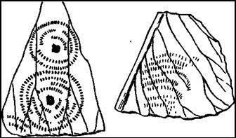 Кладки стрекоз на нижней стороне плавающих листьев кувшинки. Слева — кладки стрелки (Agrlon pulchellem); справа — кладка дедки (Gomphus)