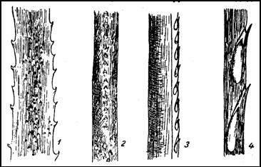 Кладки стрекоз из группы коромысла и лютки. 1 — кладка коромысла (Aeschna viridi) на телорезе, 2 — стебель частухи, в который вбуравлены яйца лютки (Lestes)