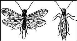 Веснянка Dictiopterix microcephala
