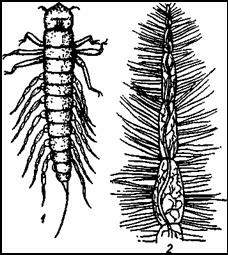 Вислокрылка (Sialis flavilatera)
