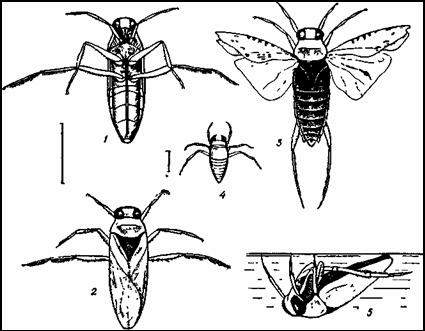 Гладыш (Notonecta glauca)