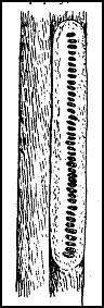 Кладка водомерки на стебле растения