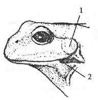 Голова озерной лягушки